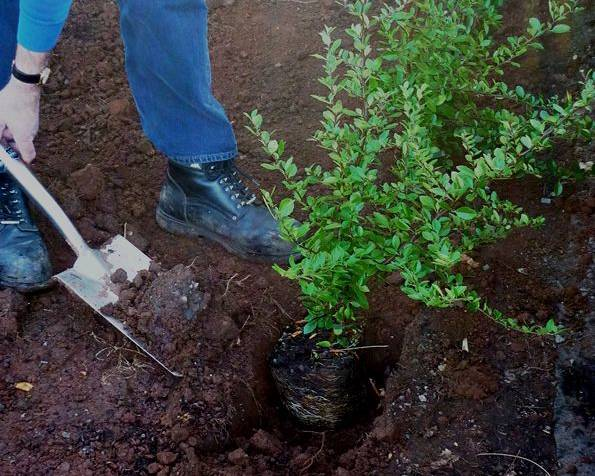 Planting a Firethorn hedge