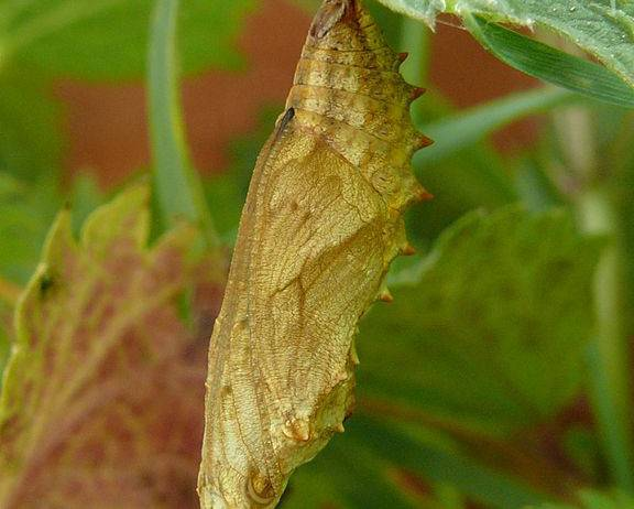 A close up image of small tortoiseshell butterfly pupa Aglais urticae cocoon attached to a leaf