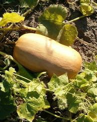 A photo of Butternut Squash
