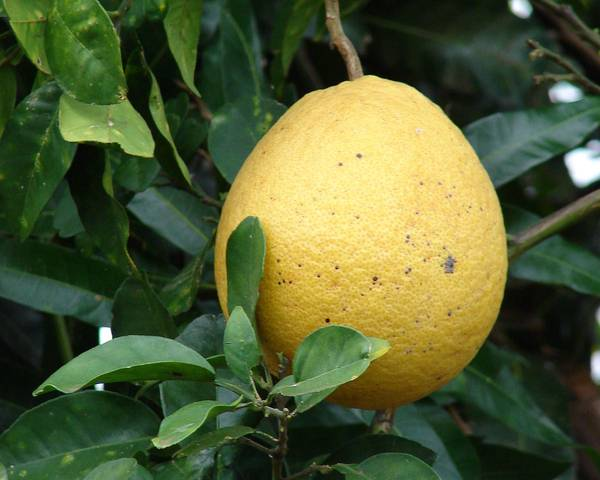 A picture of a Pomelo