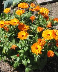 A photo of Pot Marigold