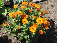 A close up of a flower garden with some orange Calendula officinalis flowers