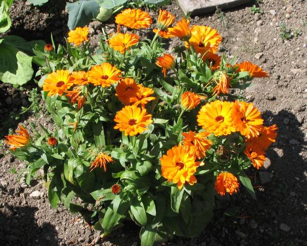 A picture of a Pot Marigold
