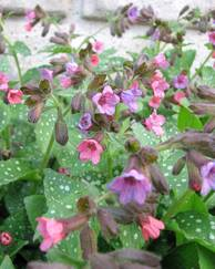 A photo of Lungwort