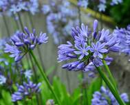 A photo of Agapanthus