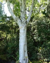A photo of Himalayan Birch
