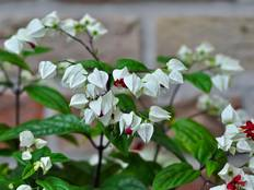 Some white Clerodendrum flowers