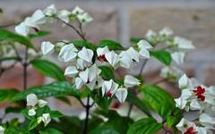 A photo of Clerodendrum