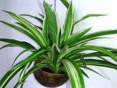 A close up of a green Chlorophytum comosum plant