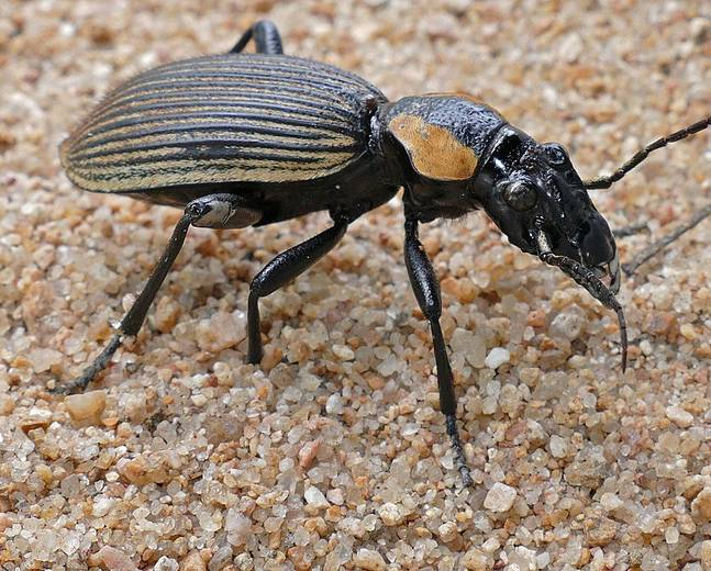 A close up of a Anthia burchelli ground beetle