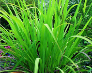 A photo of Cymbopogon