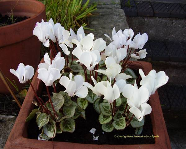 A picture of a Cyclamen coum 'Album'