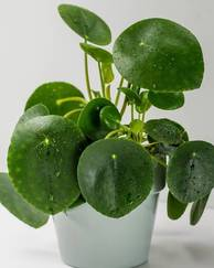 A photo of Chinese Money Plant