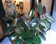 HK Sheung Wan 18 Po Hing Fong barber shop Ficus elastica Indian rubber tree Aug-2012