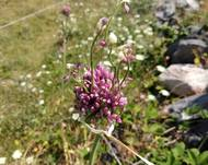 A photo of Allium ampeloprasum ssp. babingtonii