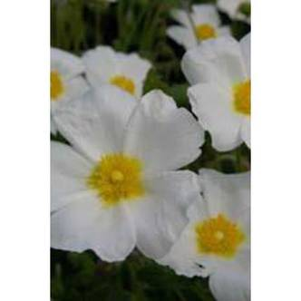 Cistus May Snow 3lt Shrub