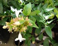 A photo of Abelia X Grandiflora 'Hopleys'