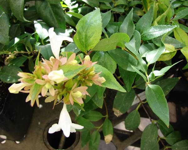 A picture of a Abelia X Grandiflora 'Hopleys'