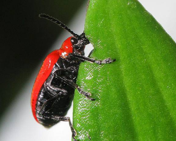 A close up image of a scarlet lily beetle Lilioceris lilii eating a green lily leaf