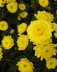 A photo of Chrysanth