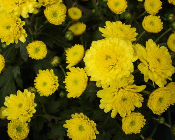 A picture of a Chrysanth