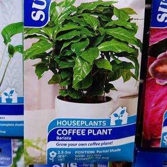 Coffee Plant Seeds - Barista - Houseplant