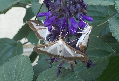 Box tree moths on a purple flower on a plant