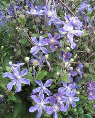 A photo of Clematis 'Arabella' (I)