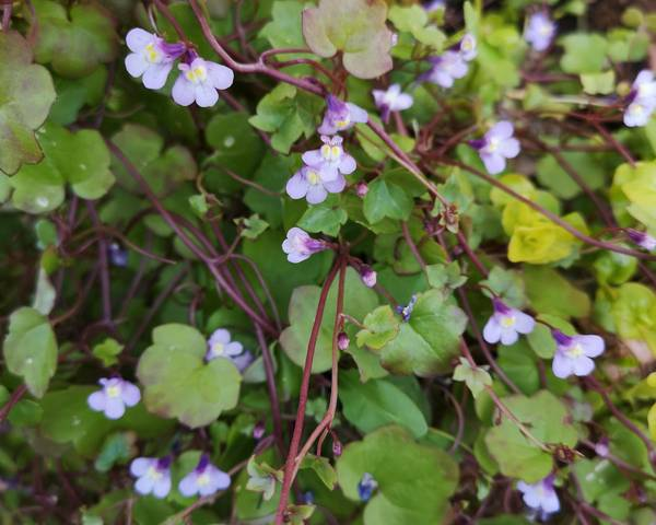 A picture of a Ivy Leaved Toadflax