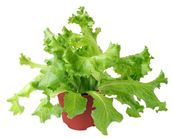A picture of a Cos Lettuce