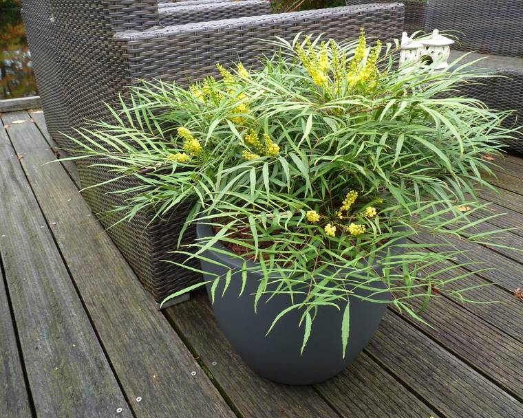 A Mahonia 'Soft Caress' plant in a pot