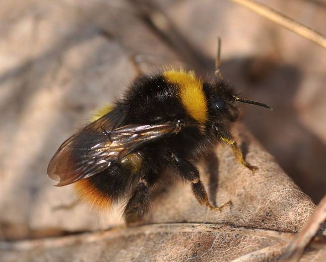 A close up of a Early Bumblebee Bombus pratorum on a leaf