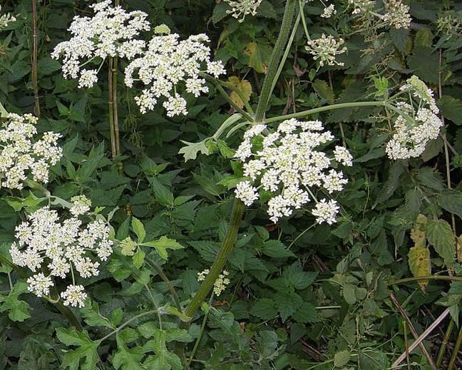A close up of some white Heracleum sphondylium flowers in a garden