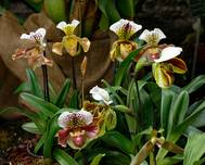A photo of Slipper Orchid