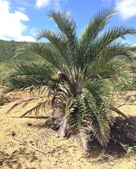 A photo of Ouricury Palm
