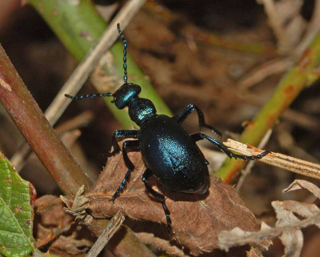 A close up photograph of an oil beetle from genus Meloe