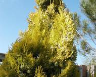 A photo of Arborvitae