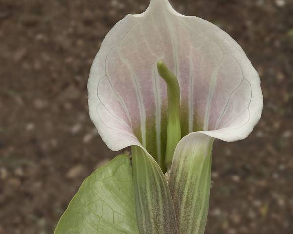 A picture of a White-Spathed Jack In The Pulpit