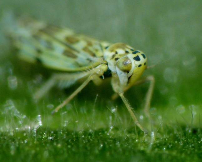 A close up image of a Eupteryx melissae sage leafhopper sat on a green leaf