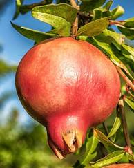 A photo of Pomegranate