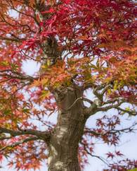 A photo of Japanese Maple