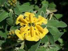 Some yellow Phlomis fruticosa flowers on a plant with green leaves