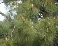 Pine tree from Dharamshala
