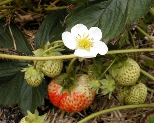 A picture of a Strawberry