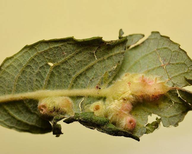 A macro shot of a plant gall produced by a gall midge in the family Cecidomyiidae
