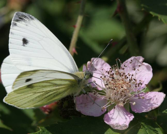 A close up of a large white butterfly Pieris brassicae on a flower