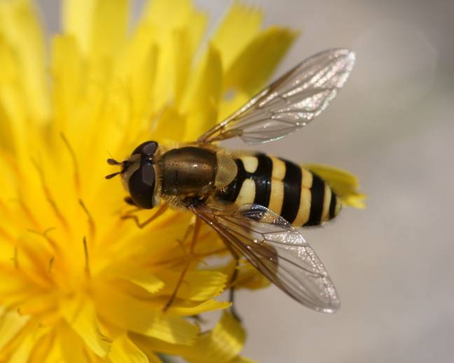 A black and yellow striped hoverfly insect on a yellow flower
