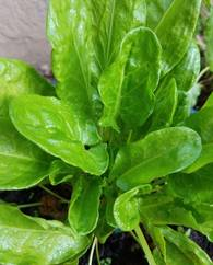 A photo of Sorrel
