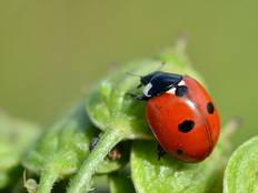 A close up photograph of a ladybird beetle Coccinellidae on a leaf