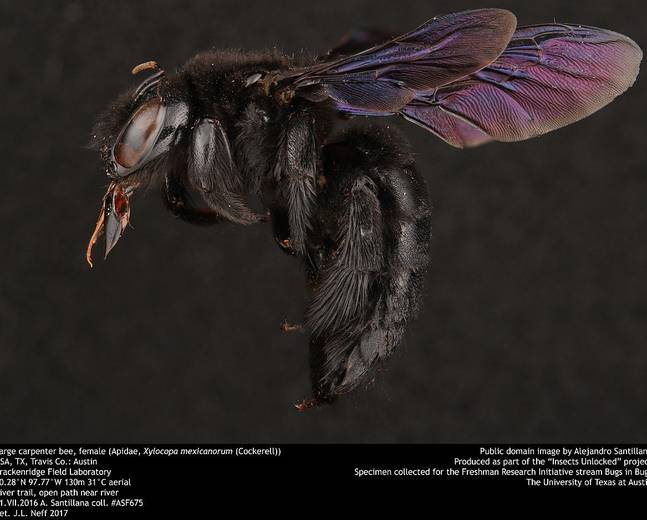 A macro shot of a carpenter bee from the genus Xylocopa against a black background